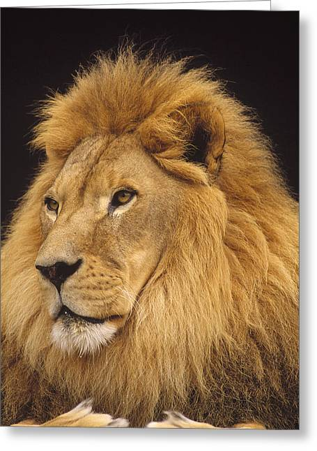 Close-up Of Cat Greeting Cards - African Lion Panthera Leo Male Greeting Card by Gerry Ellis