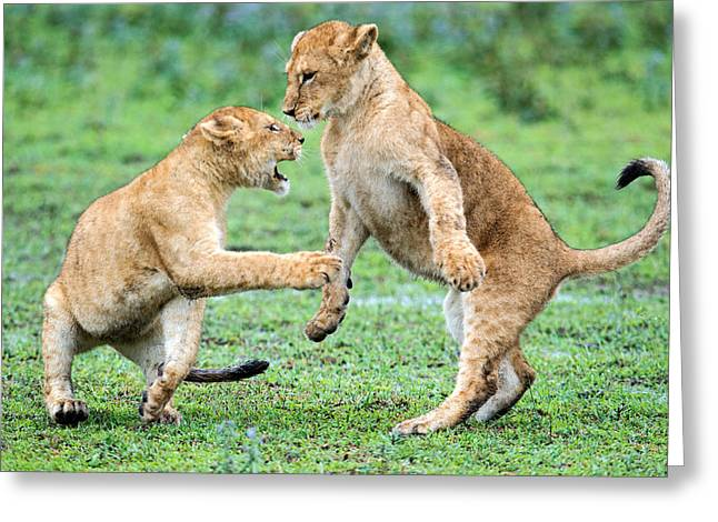 African Lion Panthera Leo Playing Greeting Card by Panoramic Images
