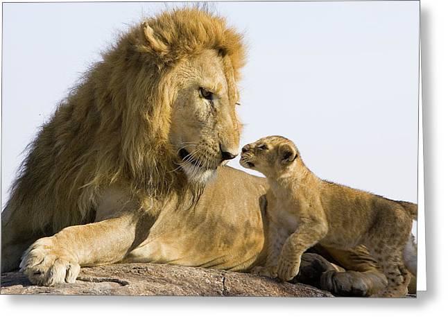 African Lion Panthera Leo Seven Greeting Card by Suzi Eszterhas