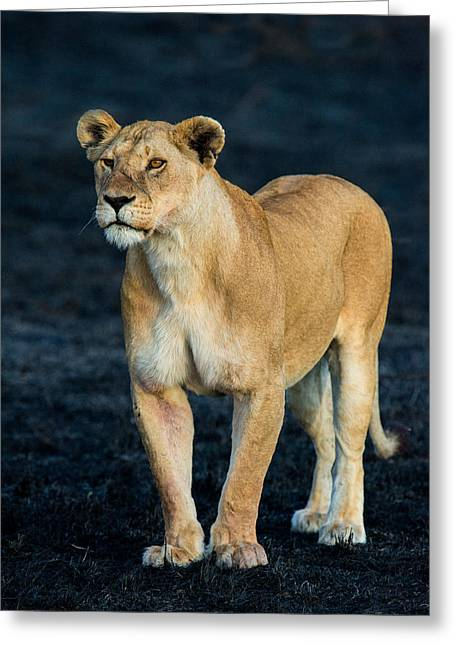 African Lion Panthera Leo Standing Greeting Card by Panoramic Images