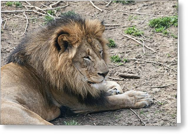 Male Lion Greeting Cards - African Lion Greeting Card by Tom Mc Nemar