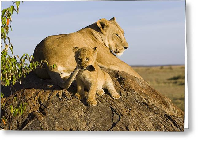 Behaviour Greeting Cards - African Lion With Mothers Tail Greeting Card by Suzi Eszterhas