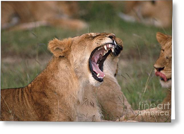 Lioness Greeting Cards - African lion yawning Greeting Card by Legacy Images