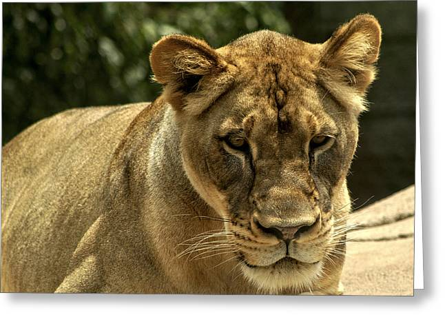 Lioness Greeting Cards - African Lioness 2 Greeting Card by Michael Gordon