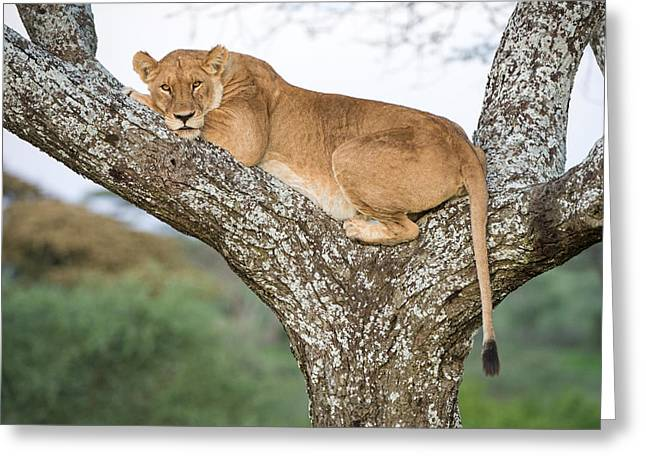 African Lioness Panthera Leo Resting Greeting Card by Panoramic Images