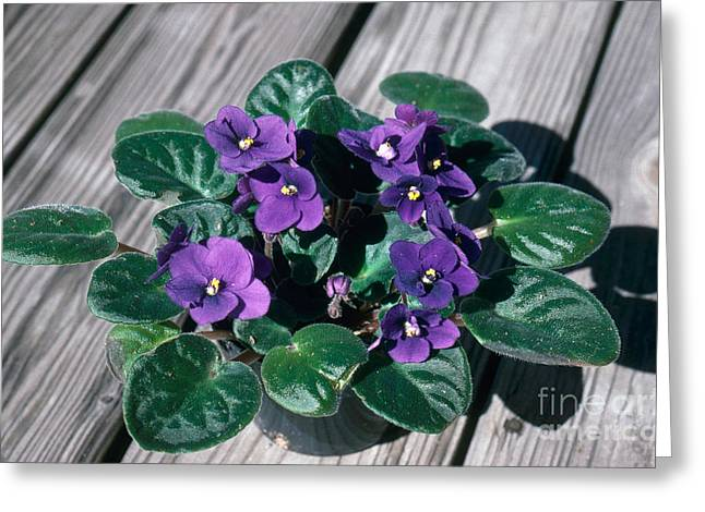 African Violets Greeting Cards - African Violet Greeting Card by John Kaprielian