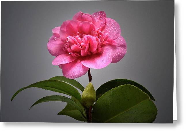Camellia Photographs Greeting Cards - After A Rain Shower. Greeting Card by Terence Davis