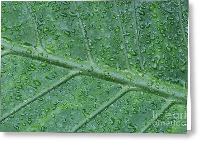 Elephant Ear Plant Greeting Cards - After The Rain Greeting Card by Judy Whitton