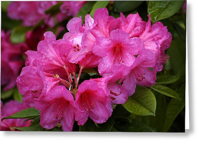 Pink Rhodies Greeting Cards - After the Rain Greeting Card by Lori Seaman