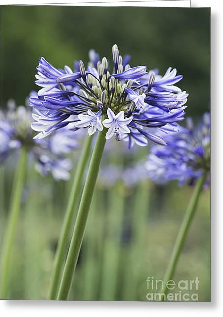 Emerging Greeting Cards - Agapanthus Multicolour Greeting Card by Tim Gainey