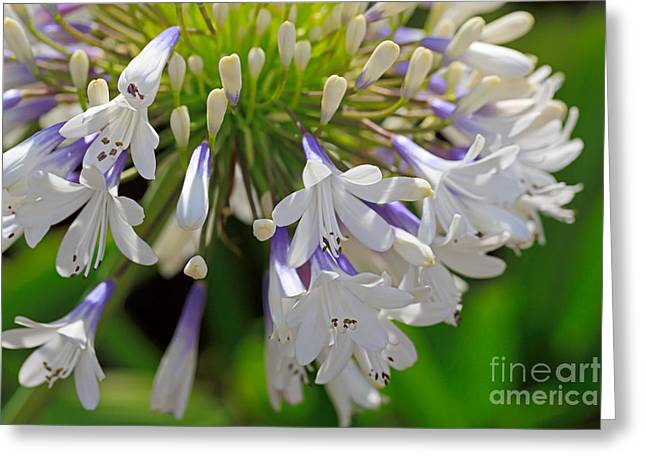 Blues Trumpet Greeting Cards - Agapanthus Queen Mum Greeting Card by Louise Heusinkveld