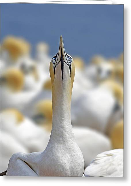 Seabirds Greeting Cards - Ahead Greeting Card by Tony Beck