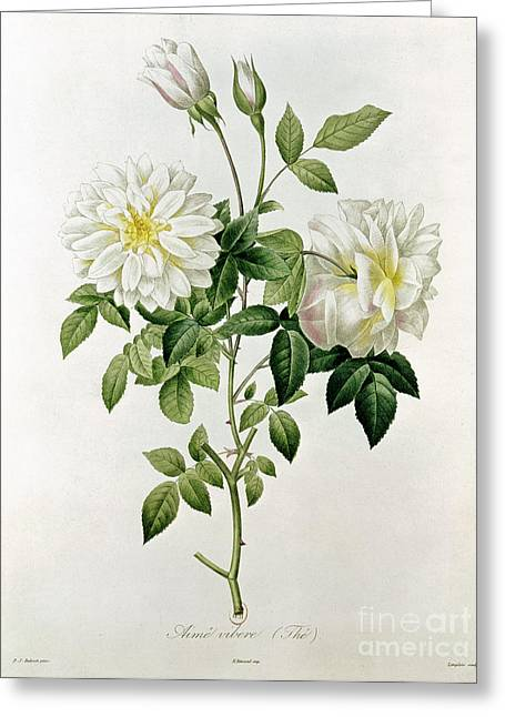 Best Sellers -  - Botanical Greeting Cards - Aime Vibere Greeting Card by Pierre Joseph Redoute