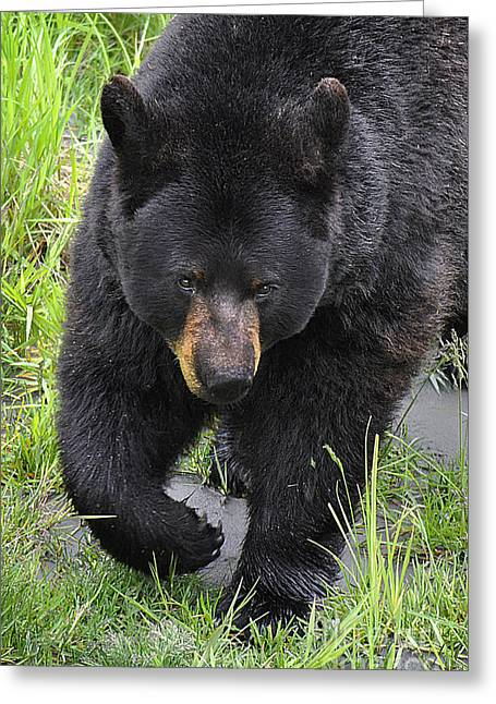 Russian Born Greeting Cards - Alaskan Black Bear Greeting Card by Diane E Berry