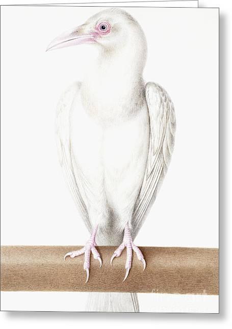 Albino Crow Greeting Card by Nicolas Robert