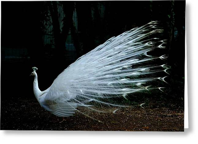 Albino Peacock Greeting Card by Yvonne Ayoub