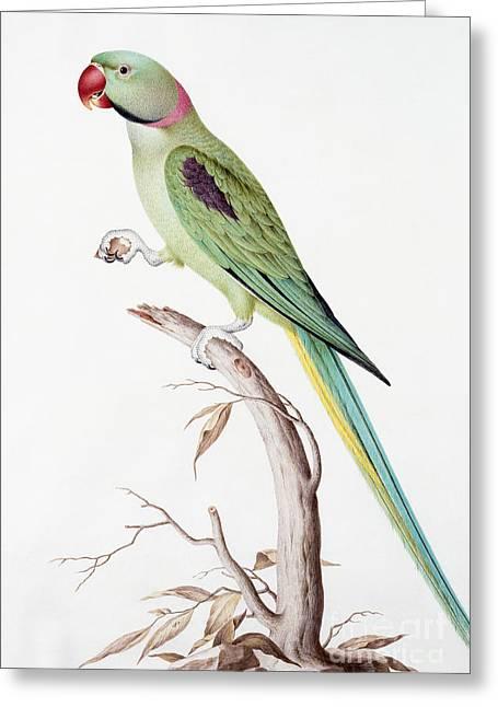 Alexandrine Parakeet Greeting Card by Nicolas Robert