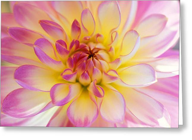 Featured Art Greeting Cards - All Dahled Up Greeting Card by Kathy Yates