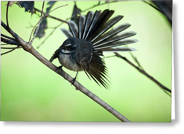 Australian Native Bird Greeting Cards - All Fanned Out Greeting Card by Heather Thorning