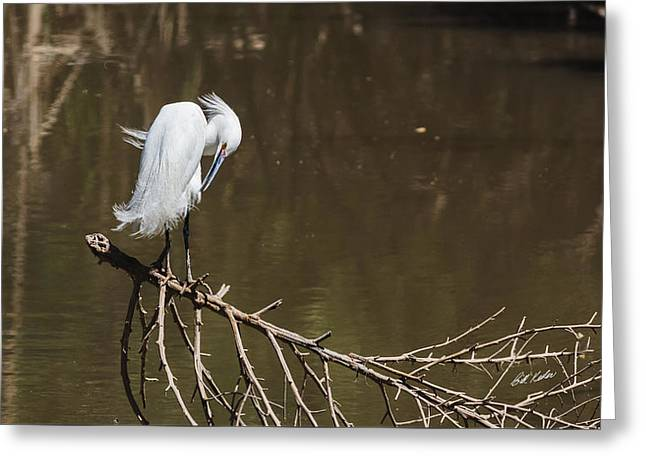 Wildlife Refuge. Greeting Cards - All Preened And Pretty Greeting Card by Bill Kesler