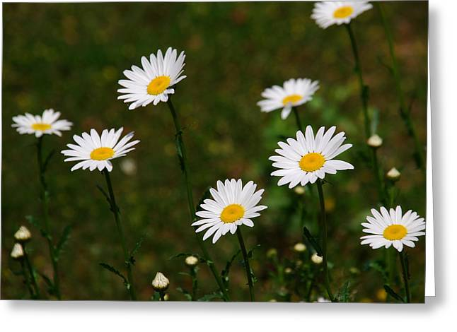 Compositae Greeting Cards - All the Daisies Greeting Card by Susanne Van Hulst