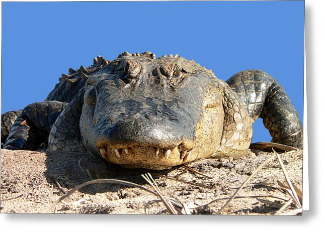 Florida Gators Digital Greeting Cards - Alligator Approach .png Greeting Card by Al Powell Photography USA