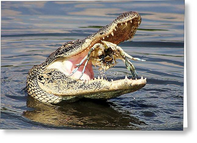 Paulette Thomas Greeting Cards - Alligator Catching and Cracking a Blue Crab Greeting Card by Paulette Thomas