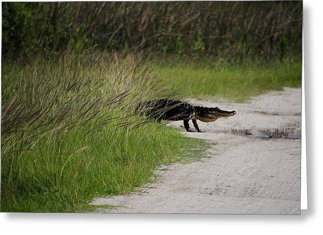 Surprise Greeting Cards - Alligator Crossing Greeting Card by Dick Hudson