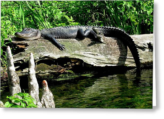 Florida Gators Greeting Cards - Alligator on Log II Greeting Card by Lisa Scott