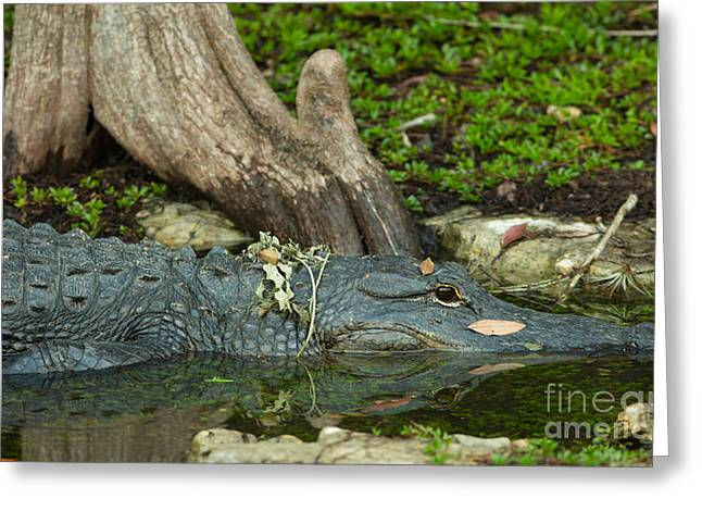 Mangrove Forest Greeting Cards - Alligator Reflection Greeting Card by Natural Focal Point Photography