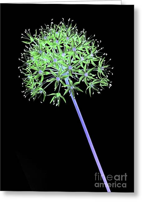 Alliums Greeting Cards - Allium 2 on black Greeting Card by Tony Cordoza