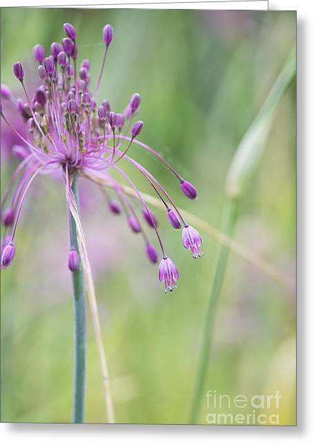 Alliums Greeting Cards - Allium Carinatum Flower Greeting Card by Tim Gainey