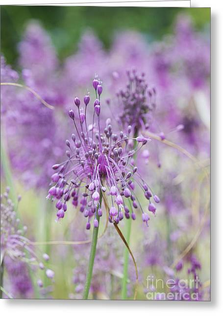 Alliums Greeting Cards - Allium Carinatum Flowering Greeting Card by Tim Gainey