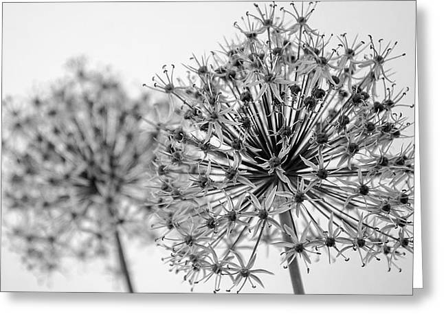 Pairs Greeting Cards - Allium Paired   Black and White Greeting Card by Susan  McMenamin