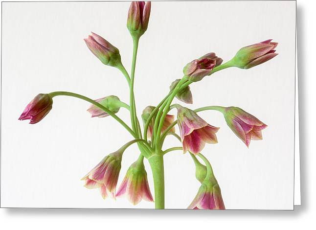 Alliums Greeting Cards - Allium siculum or Sicilian honey garlic Greeting Card by Janet Burdon