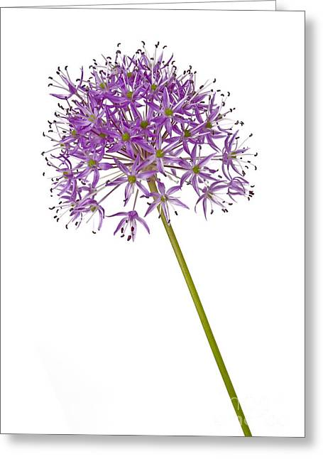 Alliums Greeting Cards - Allium Greeting Card by Tony Cordoza
