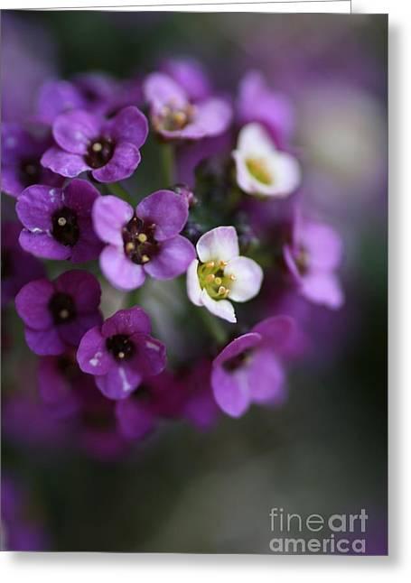 Allysium Flowers Greeting Card by Joy Watson