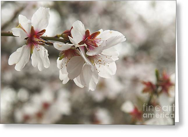 Almonds Greeting Cards - Almond Blossoms Greeting Card by Shahar Tamir