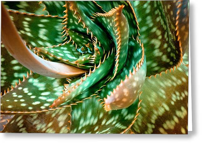 Aloe Saponaria, Soap Aloe Maculata Greeting Card by Frank Tschakert
