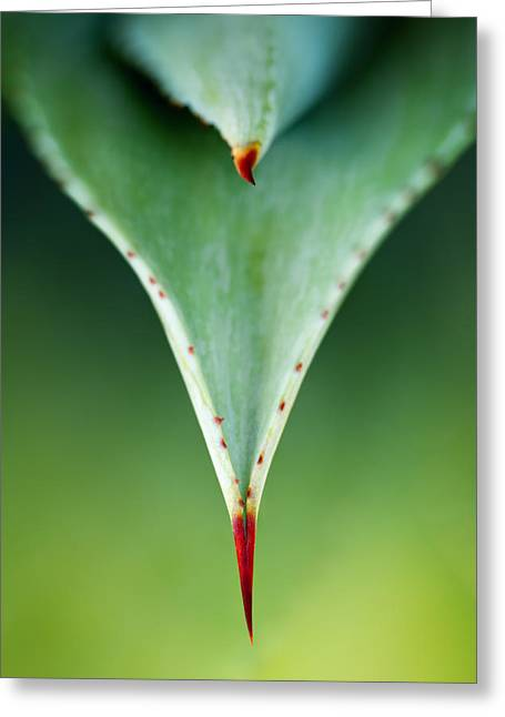 Blur Photography Greeting Cards - Aloe thorn and leaf macro Greeting Card by Johan Swanepoel
