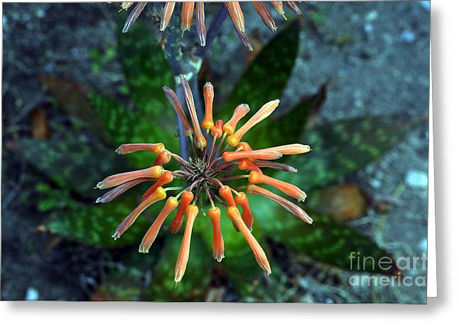 Bruster Greeting Cards - Aloe Vera Greeting Card by Clayton Bruster
