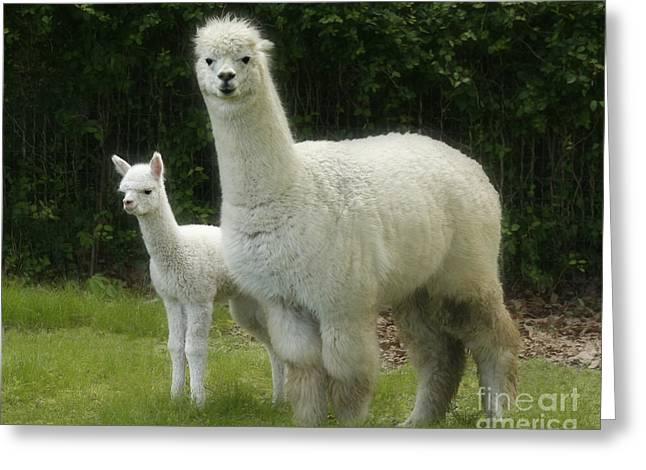 Alpacas Greeting Cards - Alpaca and foal Greeting Card by Garry McMichael