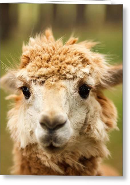 Alpaca Eyes Greeting Card by Shane Holsclaw
