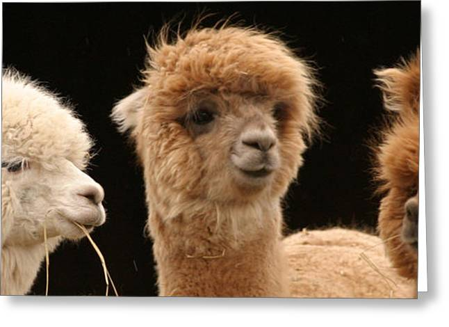 Alpacas Greeting Cards - Alpaca Talk  Greeting Card by Dagmar Ceki