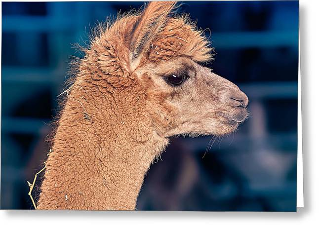 Alpacas Greeting Cards - Alpaca wants to meet you Greeting Card by TC Morgan