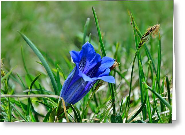 Swiss Photographs Greeting Cards - Alpine Blue Gentian Greeting Card by Liya Boge