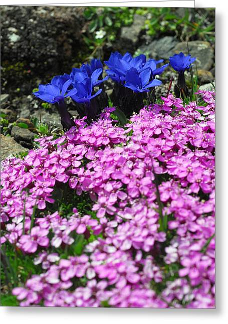 Murren Greeting Cards - Alpine Gentian And Pink Moss Campion Greeting Card by Anne Keiser