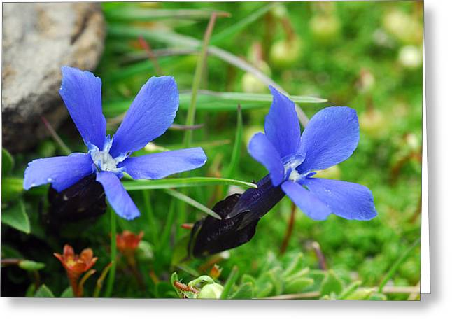Murren Greeting Cards - Alpine Gentian In Bloom Greeting Card by Anne Keiser