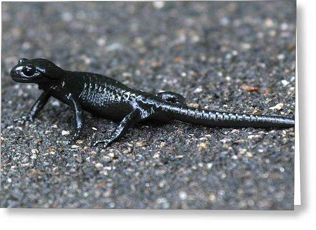 Biology Greeting Cards - Alpine Salamander Greeting Card by David Broome