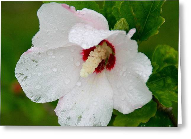 Althea Digital Art Greeting Cards - Althea after rain Greeting Card by Angela Chesnutt